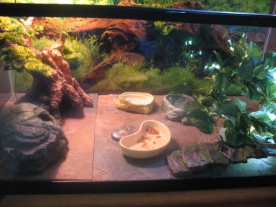 The Gecko Ring Tangerine Snow And Enigma Leopard Geckos